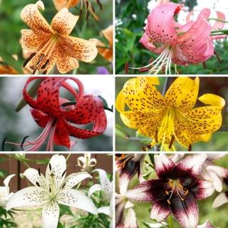 Zestaw M - 6 cebul lilii tygrysiej, kolekcja najpiękniejszych odmian