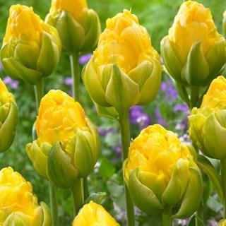 Tulipan Vanilla Coup - duża paczka! - 50 szt.