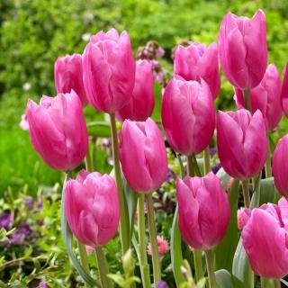 Tulipan Jumbo Pink - 5 szt.