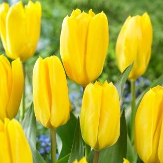 Tulipan Candela - duża paczka! - 50 szt.
