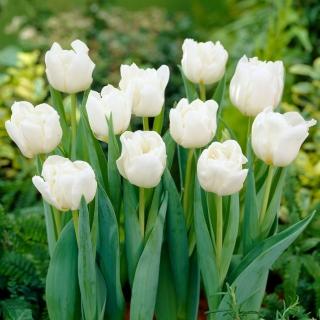 Tulipan Mondial - duża paczka! - 50 szt.