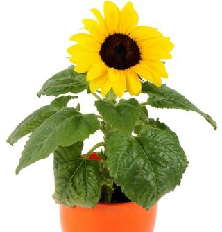 Słonecznik doniczkowy - 40 nasion