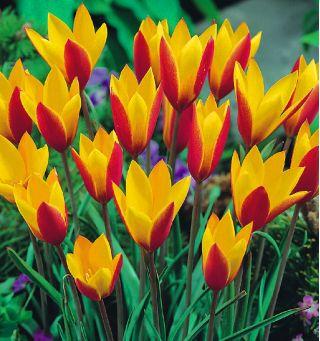 Tulipan botaniczny Cynthia - 5 cebulek