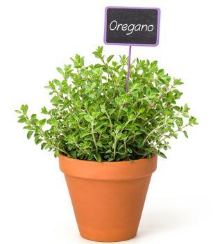 Oregano - Lebiodka pospolita - 750 nasion