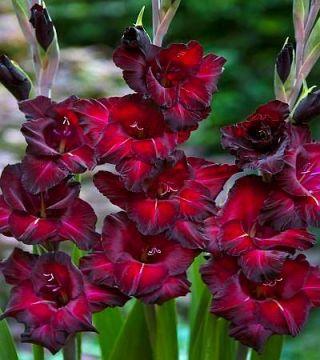 Gladiolus - Mieczyk Black Star - 5 cebulek