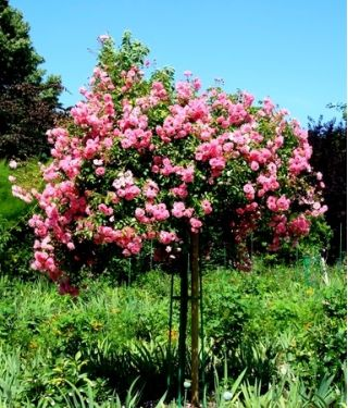 Róża Pienna Fontannowa Różowa Sadzonka W Pojemniku C4 W Sklep Nasiona Sprawdź Darmową Wysyłkę