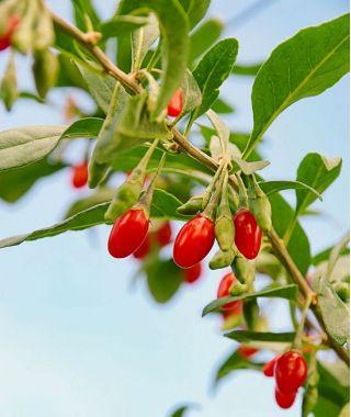 Jagody goji - kolcowój Sweet Berry - sadzonka w pojemniku C1