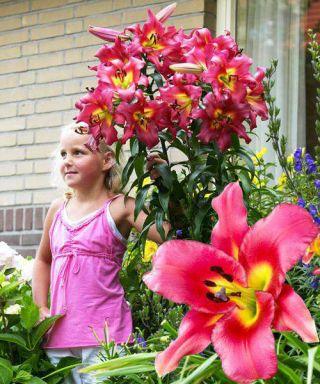 Lilia drzewiasta OT Satisfaction - 1 cebula