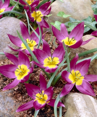 Tulipan botaniczny Eastern Star - 5 cebulek
