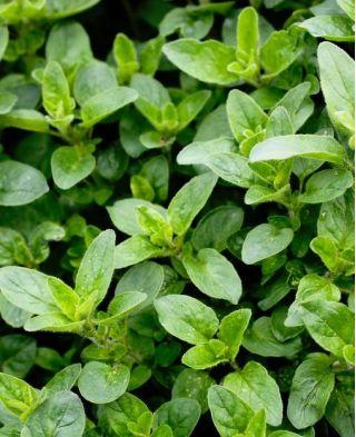 Majeranek ogrodowy - lebiodka majeranek - 3000 nasion