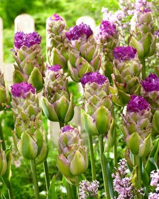 Tulipan Purple Tower - 5 szt.