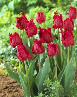 Tulipan Barbados - duża paczka! - 50 szt.
