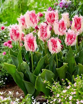 Tulipan Drakensteyn - 5 cebulek