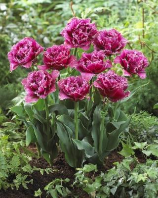 Tulipan strzępiasty - Mascotte - duża paczka! - 50 szt.