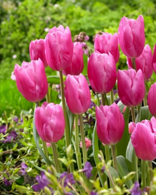 Tulipan Jumbo Pink - duża paczka! - 50 szt.