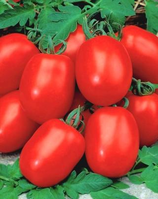 Pomidor gruntowy karłowy Awizo - wczesny, bardzo plenny, najbardziej odporny na zarazę ziemniaka
