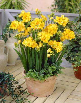 Frezja pełna o kwiatach żółtych - Yellow - 10 cebulek