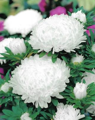 Aster chiński peoniowy biały - 500 nasion