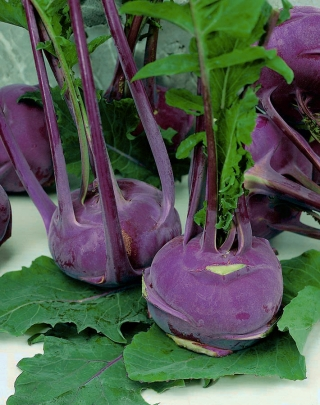 BIO Kalarepa Delikatess blauer - Certyfikowane nasiona ekologiczne