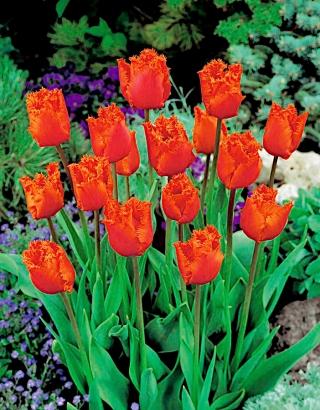Tulipan Noranda - duża paczka! - 50 szt.