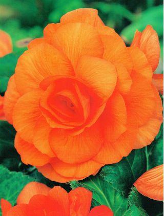 Begonia pełna - pomarańczowa - 2 szt.