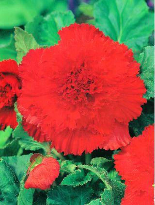 Begonia strzępiasta - czerwona - 2 szt.