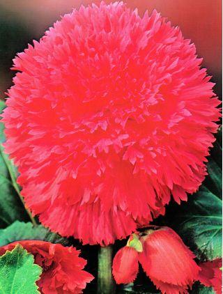 Begonia strzępiasta - różowa - 2 szt.