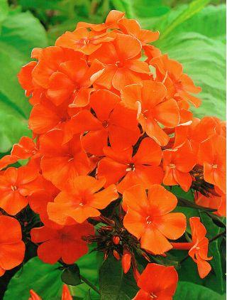 Floks (Phlox) - Płomyk wiechowaty pomarańczowy - 1 kłącze