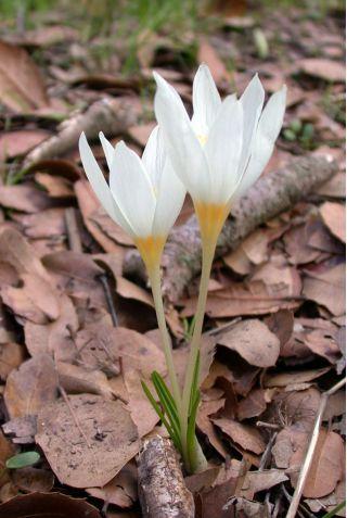 Krokus Jesienny Ochroleucus - 10 cebulek