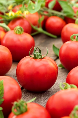 Pomidor Krakus - 320 nasion