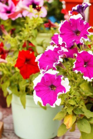 Petunia o kwiatach białoobrzeżonych - 80 nasion