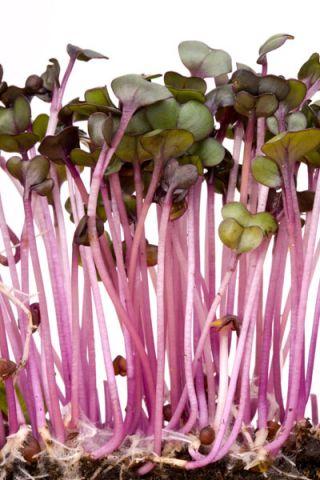 Nasiona na kiełki kapusta głowiasta czerwona
