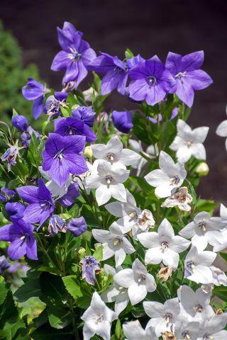 Platykodon, Rozwar wielkokwiatowy - mieszanka - 110 nasion