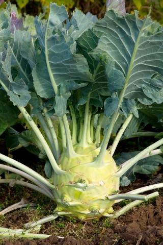 Kalarepa Gigant – nasiona otoczkowane - 100 nasion
