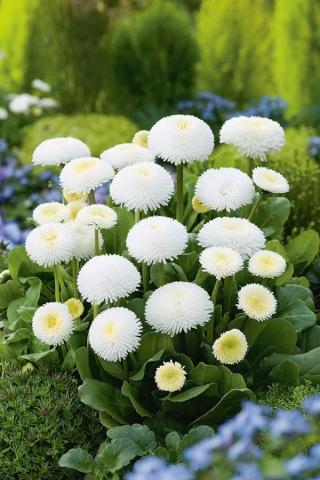 Stokrotka pomponette - biała - 690 nasion