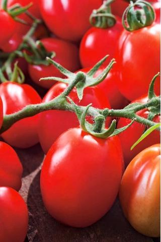 Pomidor gruntowy karłowy Chrobry - średniopóźny, bardzo plenny