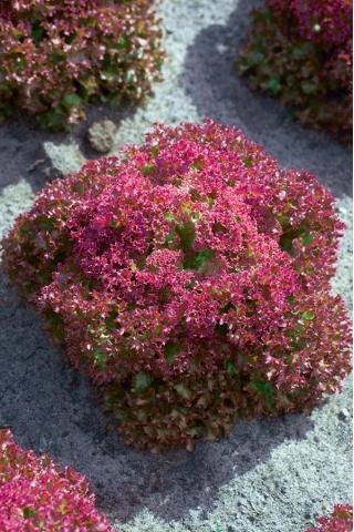 Sałata Crimson - liściowa, czerwona