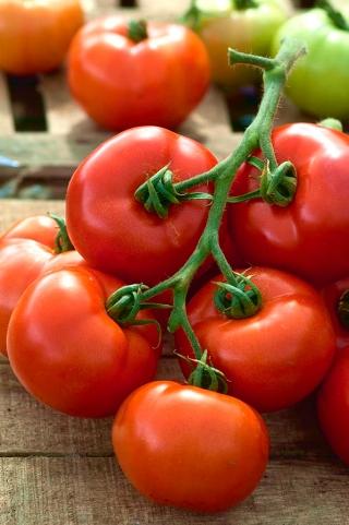 Pomidor Babinicz - gruntowy, samokończący, wcześnie owocujący