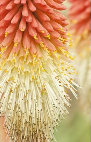 Trytoma groniasta - Płonąca Pochodnia - 120 nasion