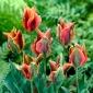 Tulipan Artist - 5 cebulek