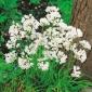 Czosnek neapolitański - Allium neapolitanum - 20 cebulek