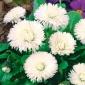 Stokrotka wielkokwiatowa - biała - 600 nasion