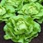 Sałata Atena - głowiasta, masłowa, szklarniowa - 900 nasion