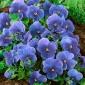 Bratek wielokwiatowy (niebieski) - 400 nasion