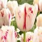 Tulipan Carrousel - 5 cebulek