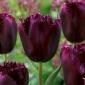 Tulipan Cuban Night - 5 cebulek