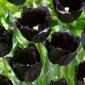Tulipan Fringed Black - najczarniejszy tulipan ze wszystkich! - 5 cebulek