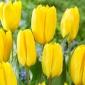 Tulipan Candela - 5 szt.
