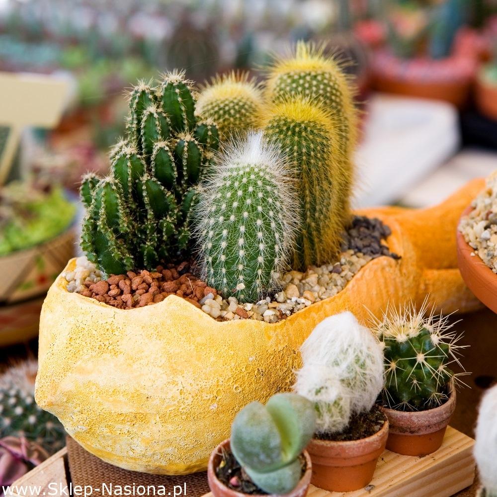 Kaktusy Mieszanka Gatunków 120 Nasion