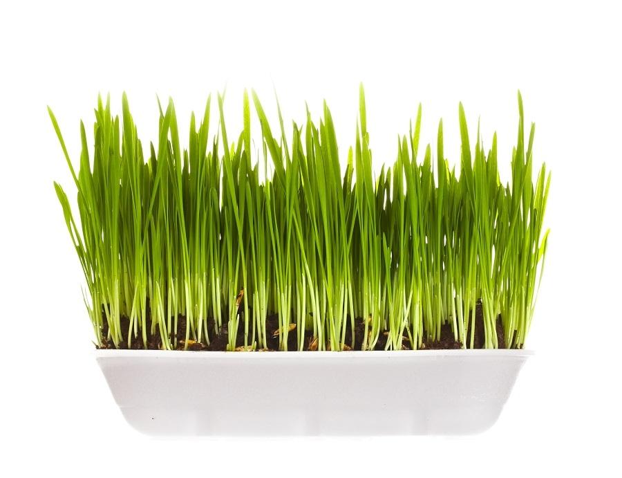 gm forte młody zielony jęczmień skład